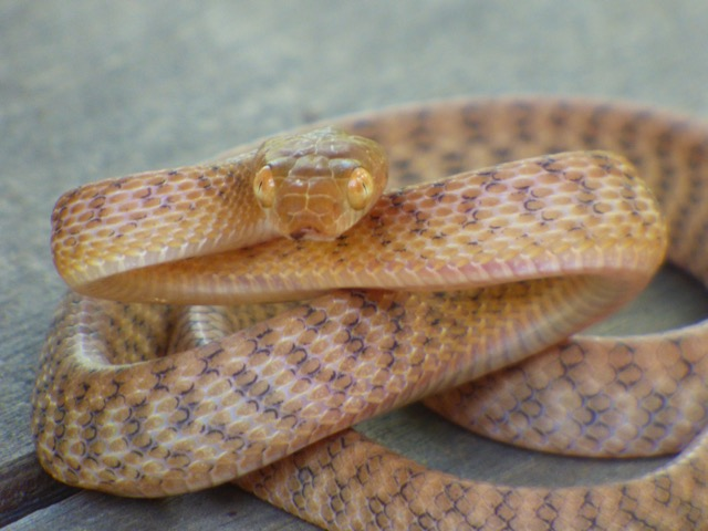 Brown tree snake