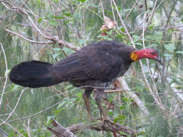 Brush-turkey