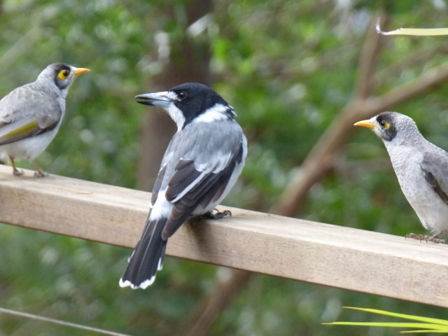 Pied Butcherbird and Noisy Miners